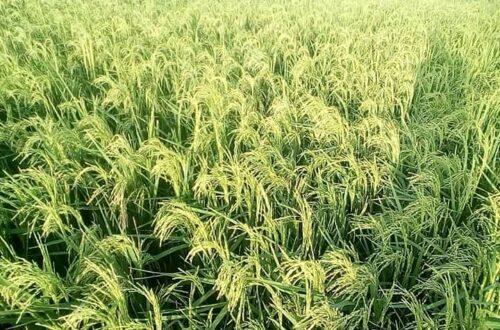Article : Covid-19 au Tchad : les agriculteurs s'inquiètent pour l'année prochaine